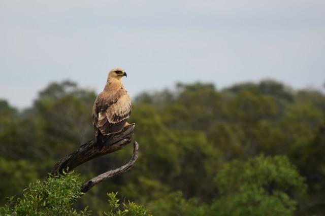 Tawny eagle_FVisser